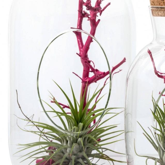 Bottiglia in vetro large con Tillandsia